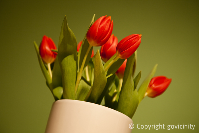 Red Red Tulips